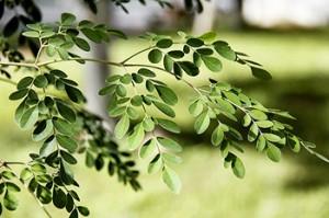 moringa foglie