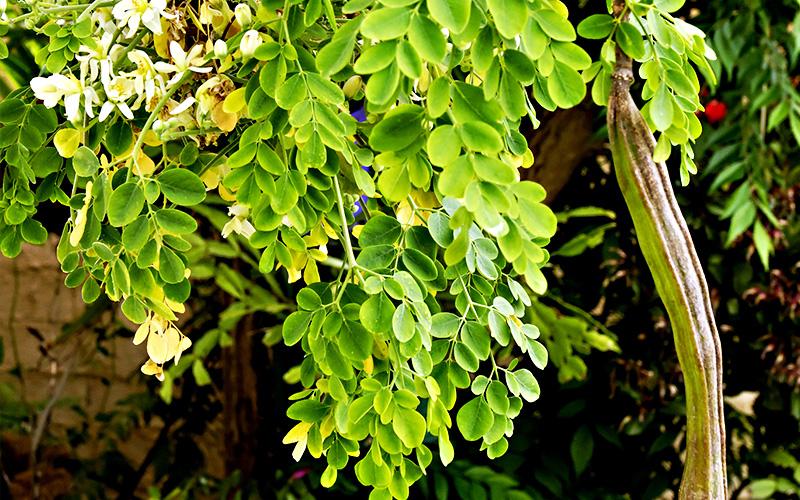 Moringa oleifera l 39 albero miracoloso for Ocra pianta